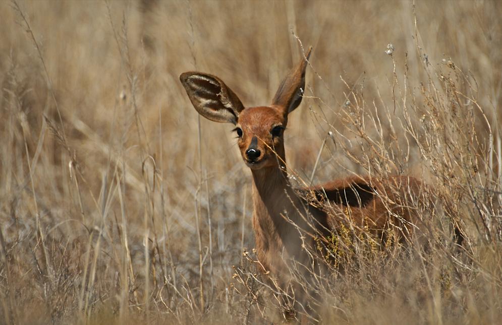Große Ohren im hohen Gras