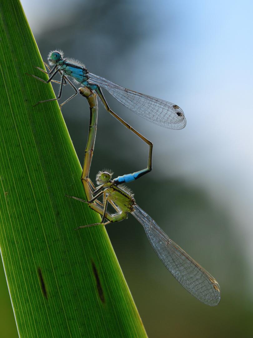 Große Pechlibelle 1 (Ischnura elegans)