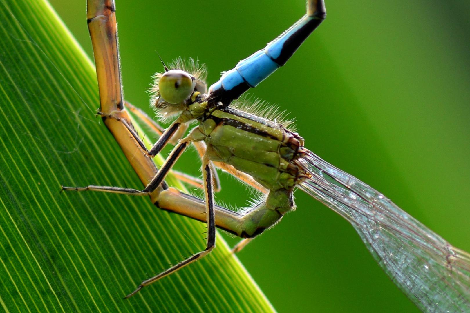 Große Pechlibelle 2 (Ischnura elegans)