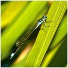 Große Pechlibelle ( Ischnura elegans )
