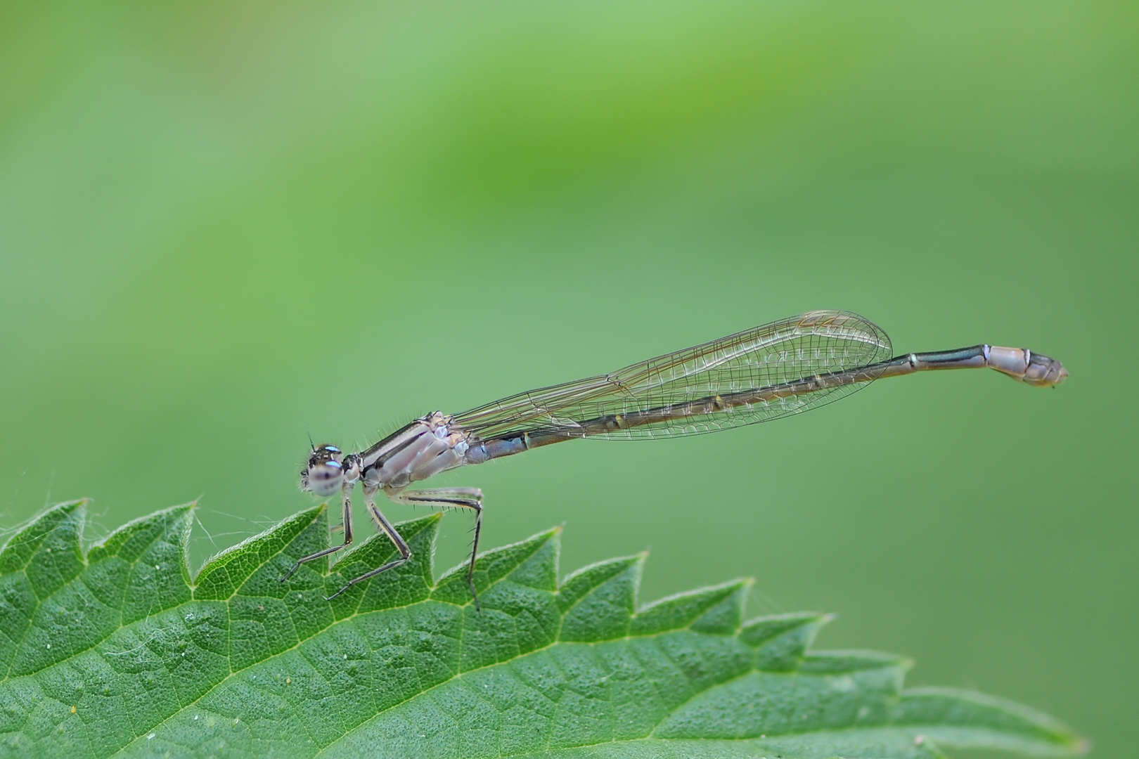Große Pechlibelle (Ischnura elegans) Weibchen