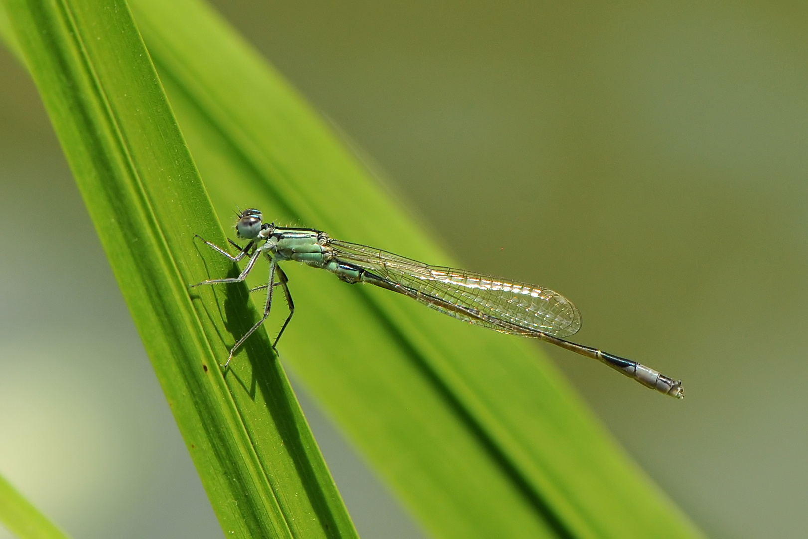 Große Pechlibelle, Männchen Jungtier