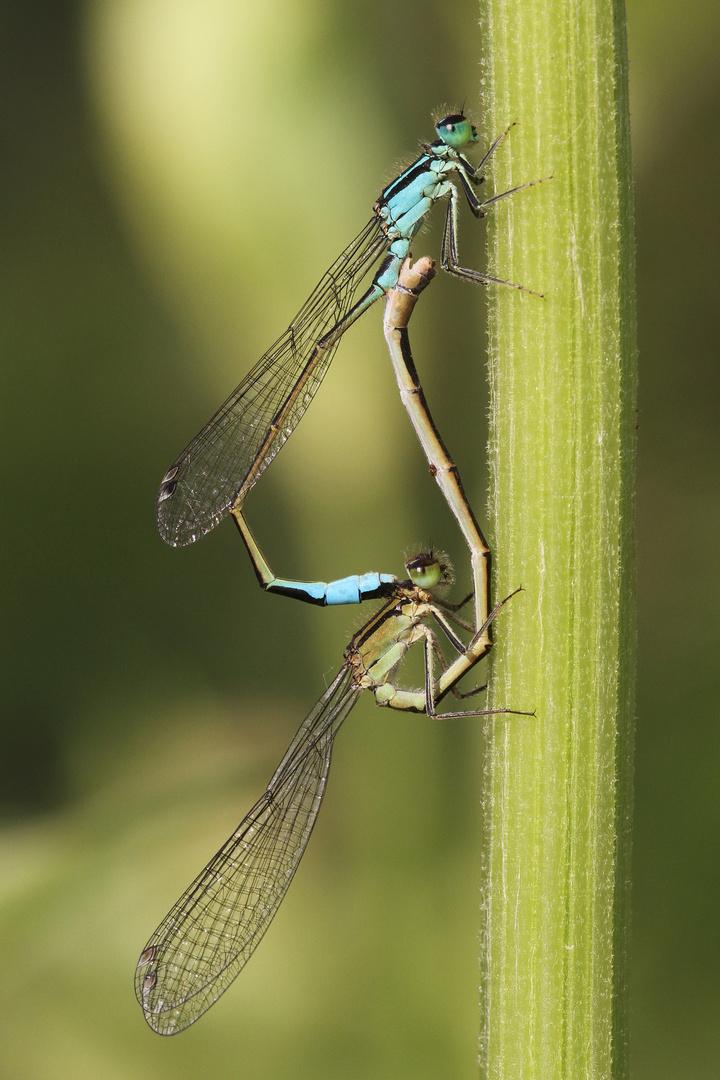 Große Pechlibelle - Paarung