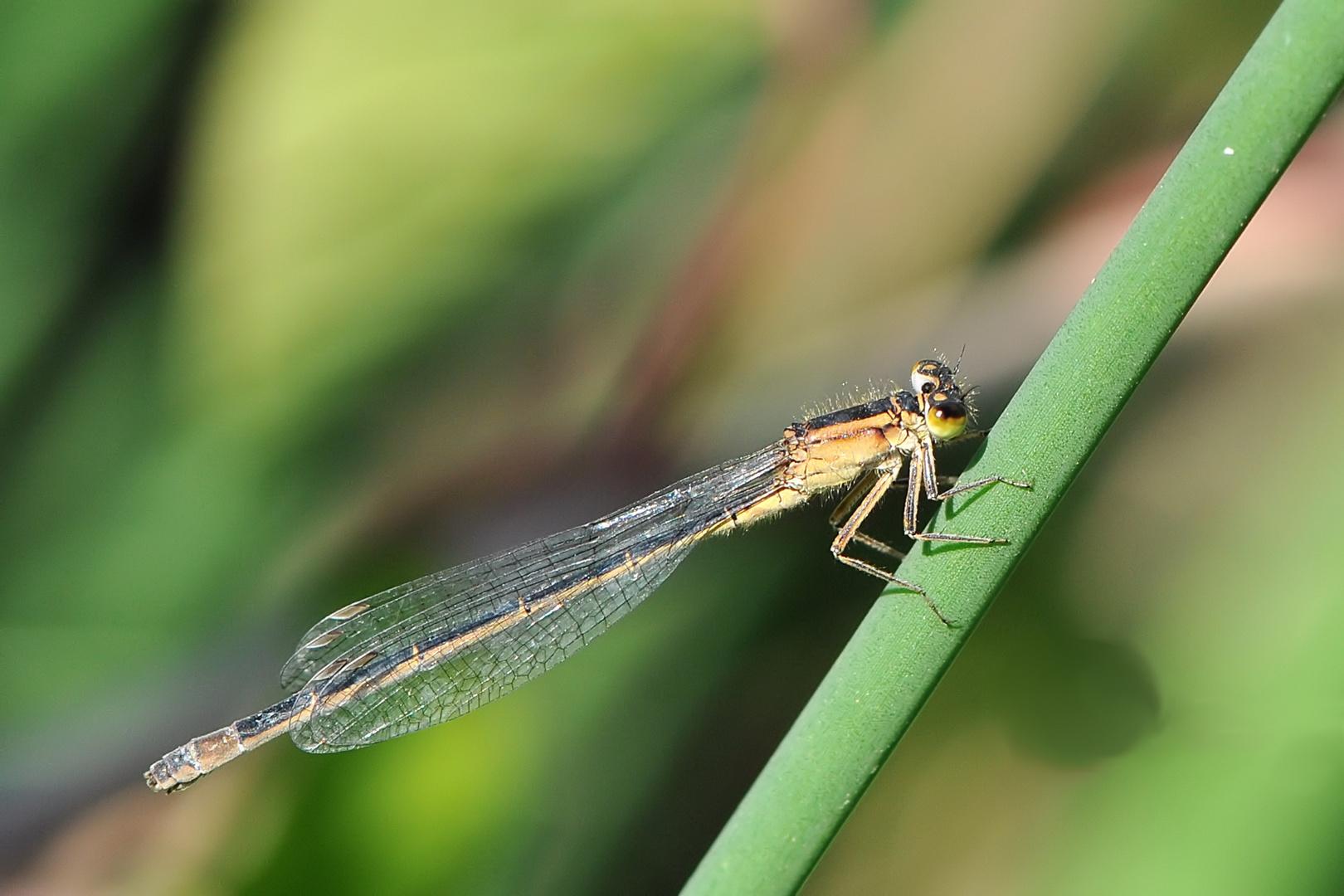 Große Pechlibelle, Weibchen - f. infuscans obsoleta
