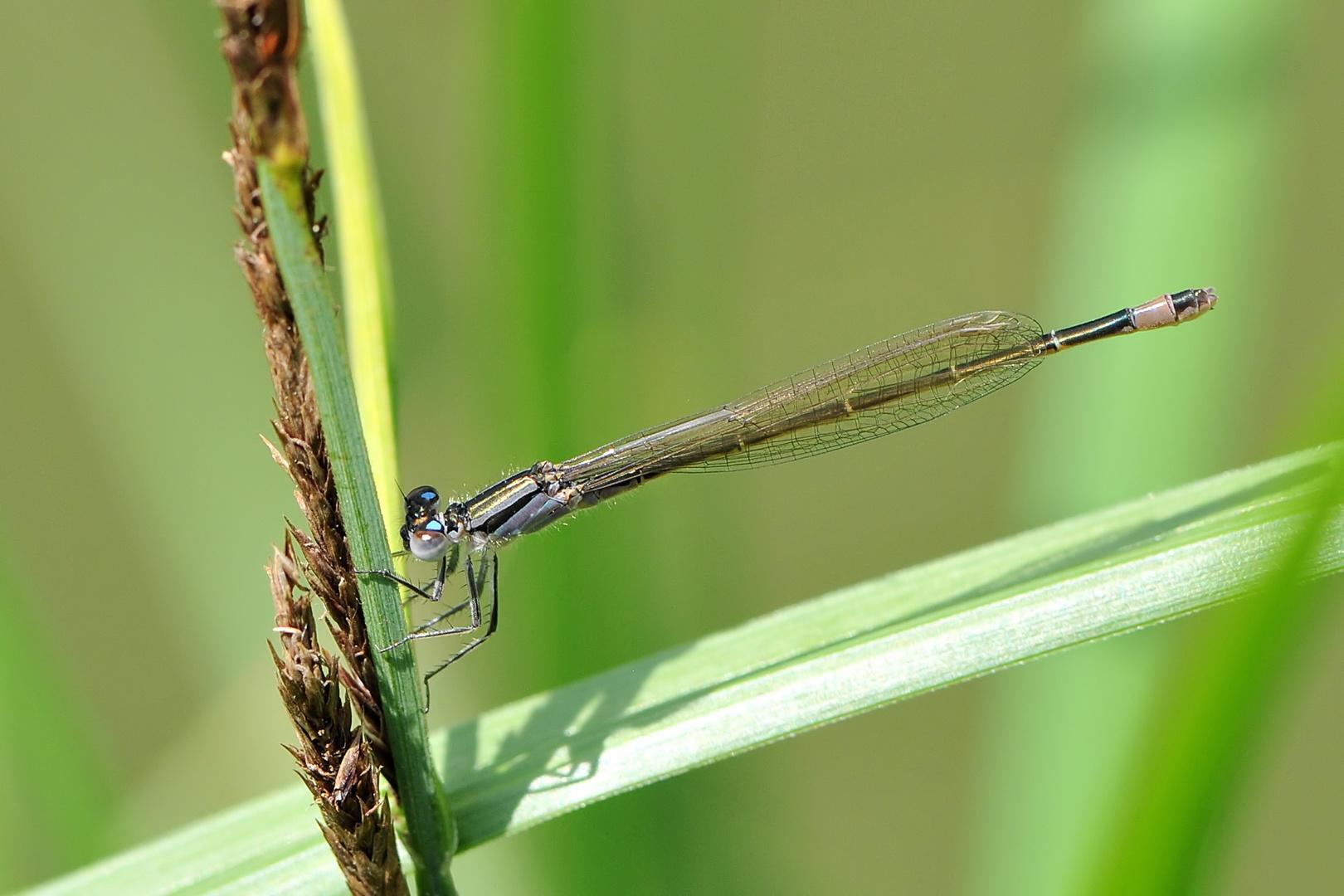 """Große Pechlibelle Weibchen """"f. violacea"""""""