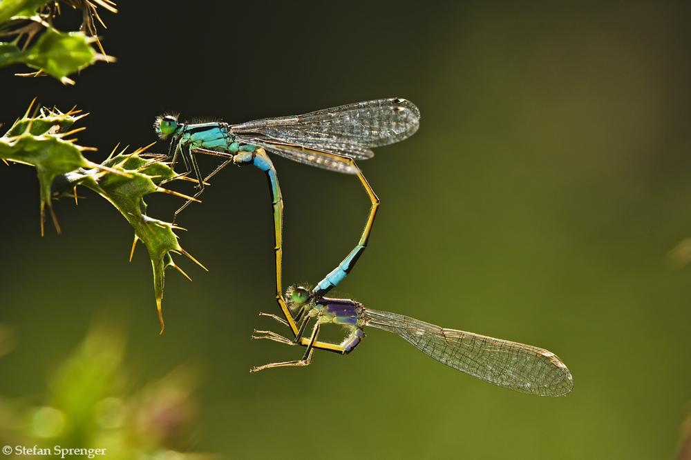 Grosse Pechlibellen Paarung 09