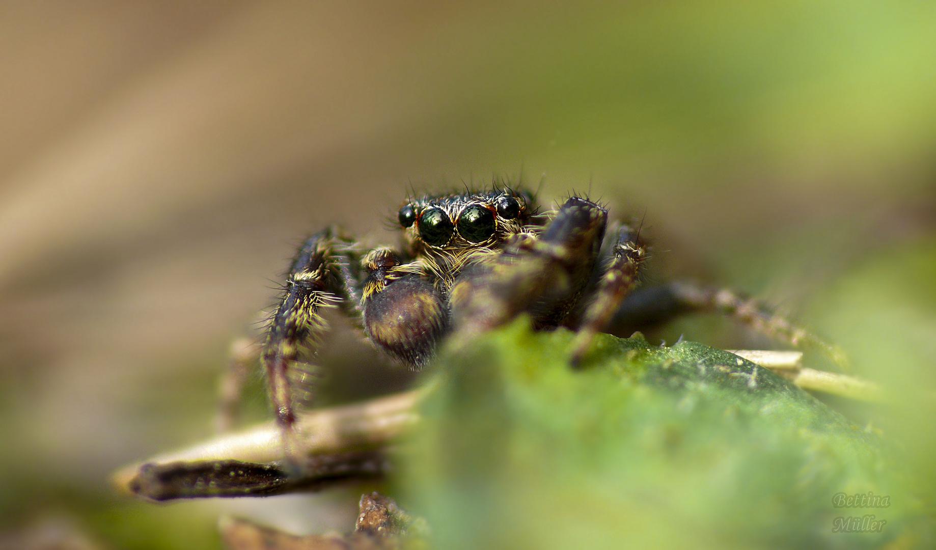 Große Rindenspringspinne (Marpissa muscosa) Männchen