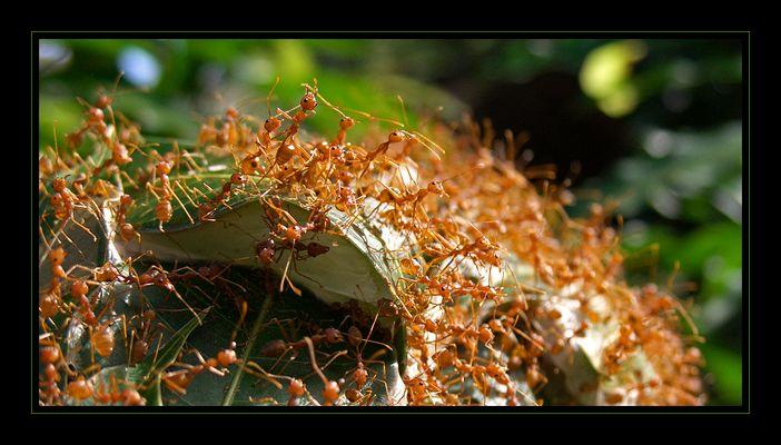 ...große rote ameisen...big red ants...