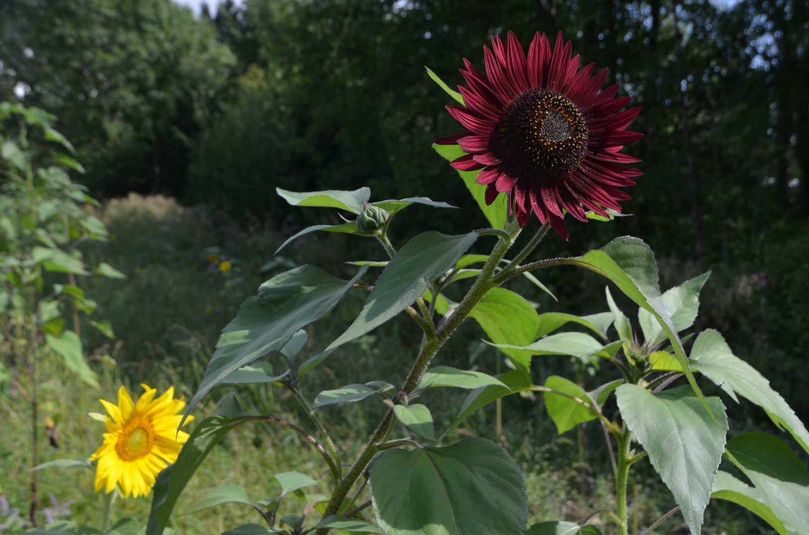 Große rote Sonnenblume