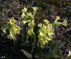 Große Schlüsselblume (Primula elatior)