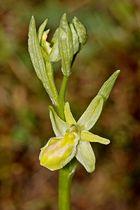 Große Spinnenragwurz (Ophrys sphegodes) Albino Variante