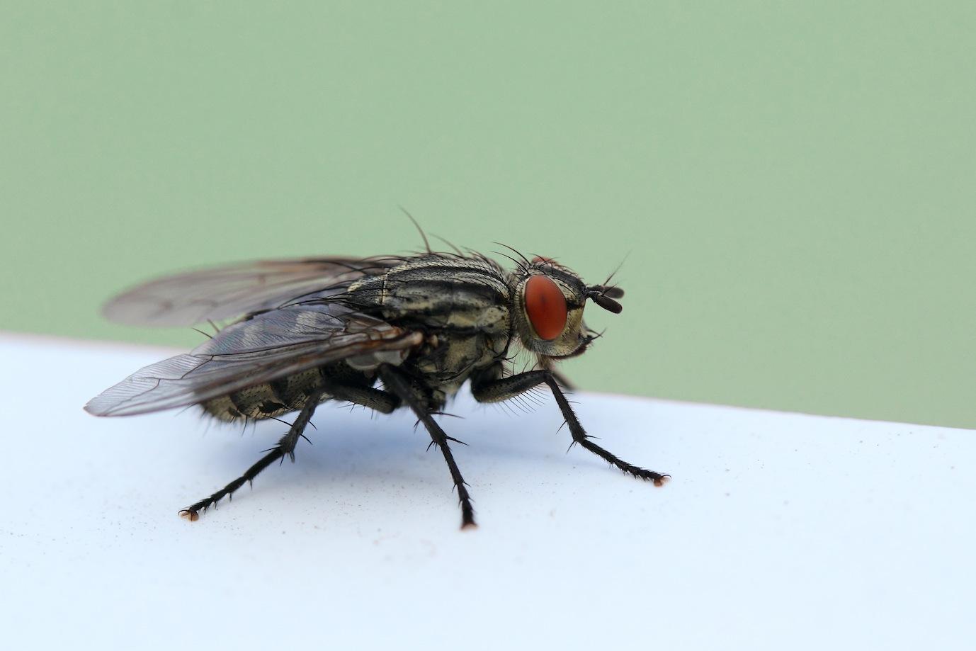 gro e stubenfliege foto bild tiere wildlife insekten. Black Bedroom Furniture Sets. Home Design Ideas