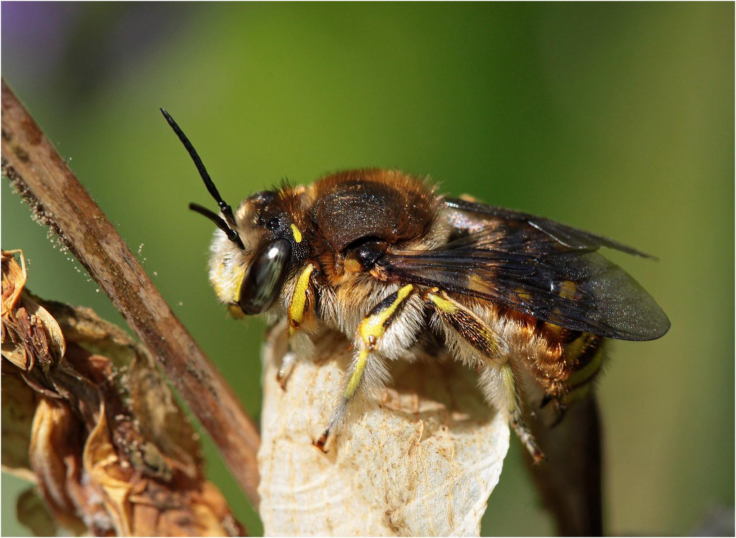 Große Wollbiene (Anthidium manicatum) - Männchen