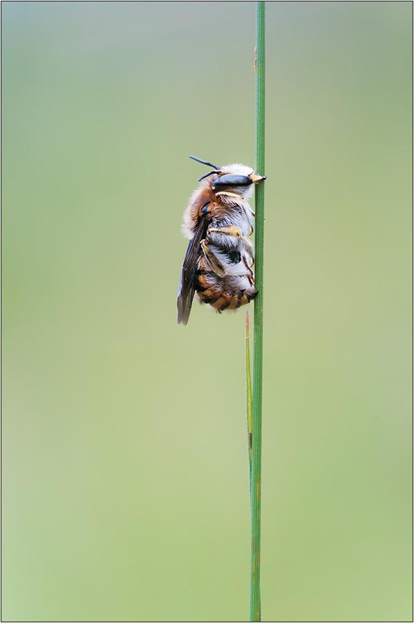 Große Wollbiene (Anthidium manicatum) Männchen
