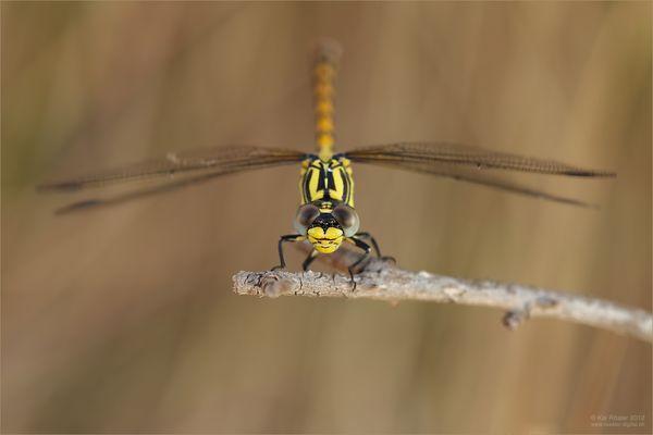 Grosse Zangenlibelle