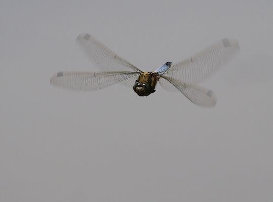 Großer Blaupfeil im Flug ( Männchen )