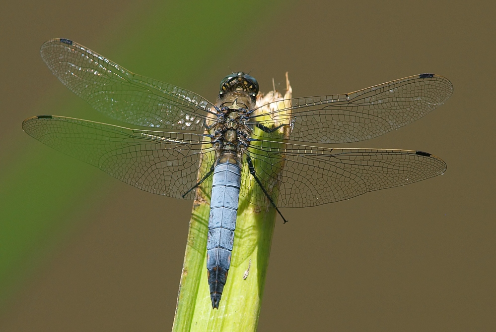 Großer Blaupfeil ( Männchen )