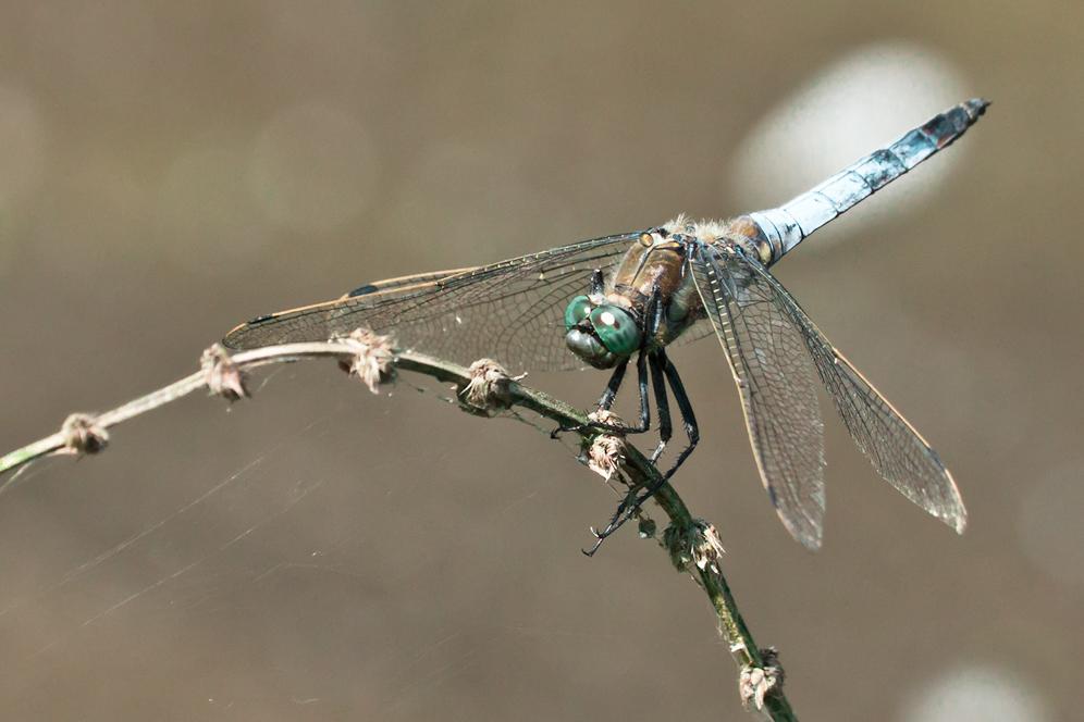 ...Großer Blaupfeil (Orthetrum cancellatum)...