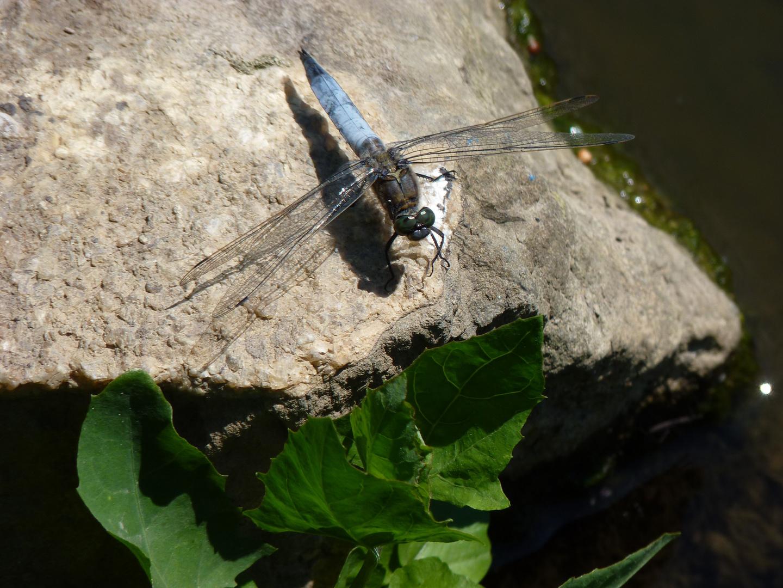 Grosser Blaupfeil - Segellibelle