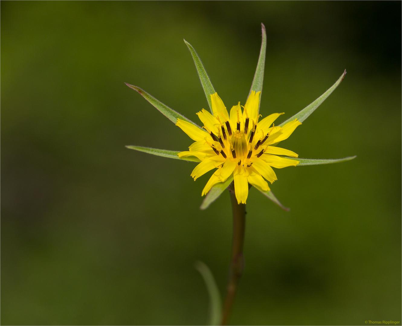 Großer Bocksbart (Tragopogon dubius)....