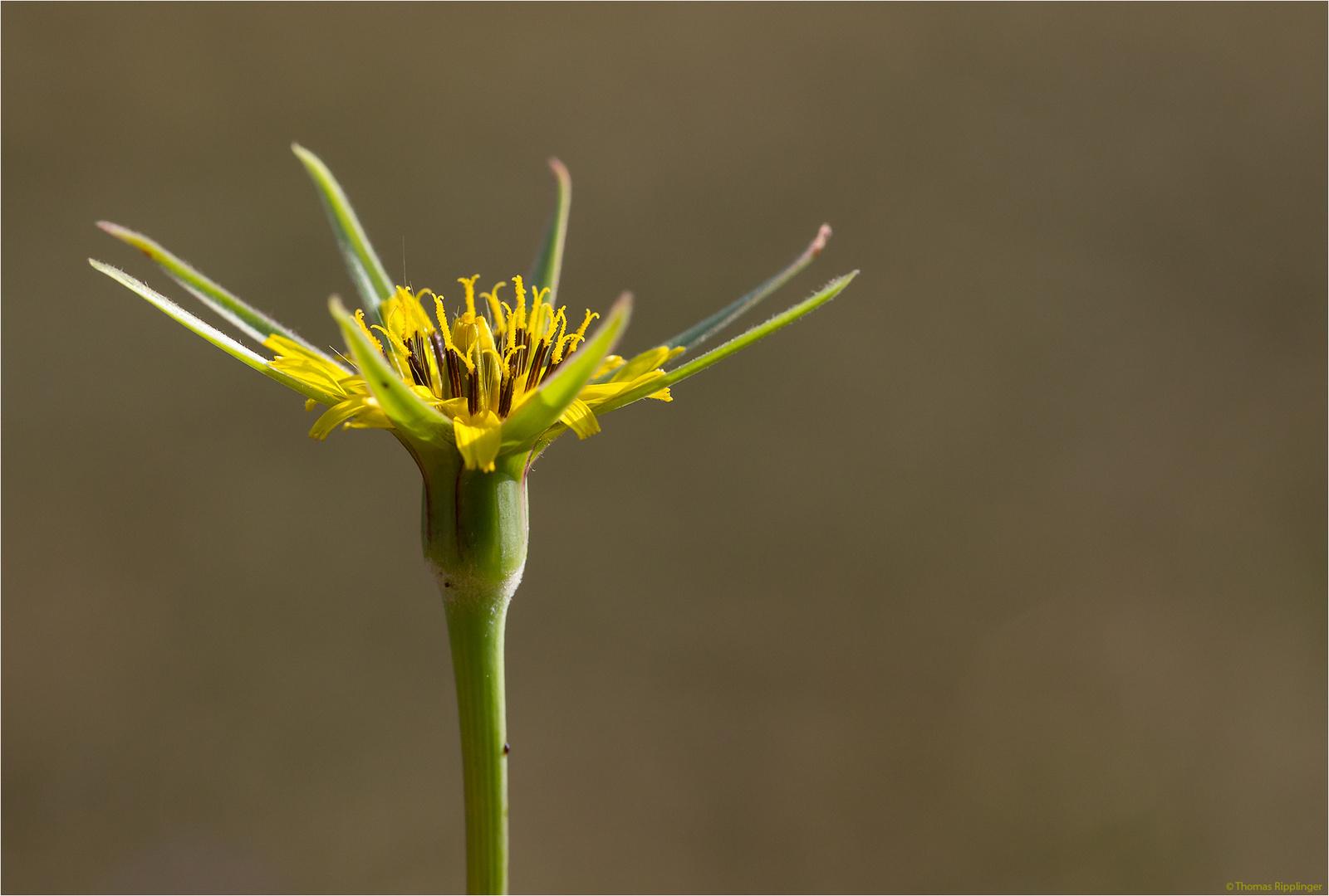 Großer Bocksbart (Tragopogon dubius)..