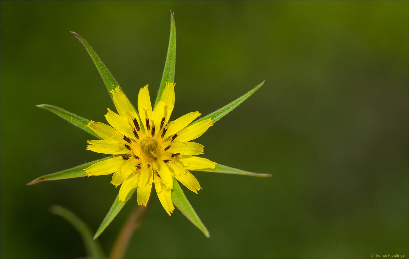 Großer Bocksbart (Tragopogon dubius)..... .... ....