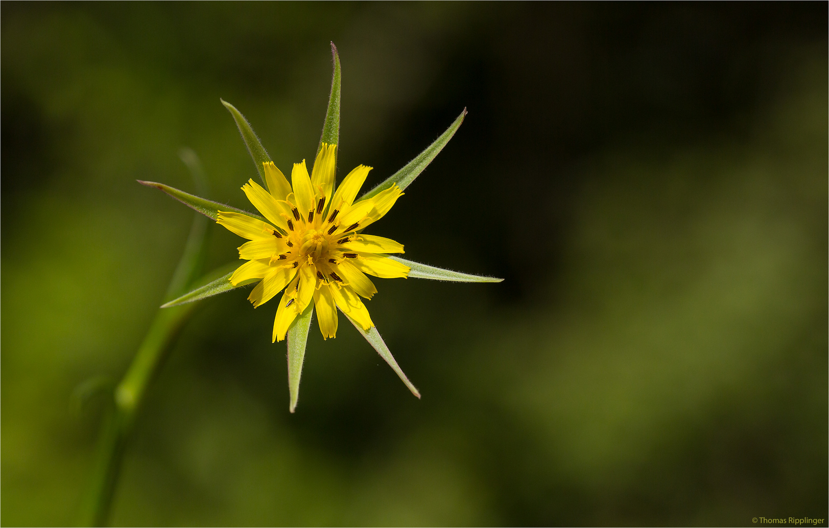 Großer Bocksbart (Tragopogon dubius)..... .... .....