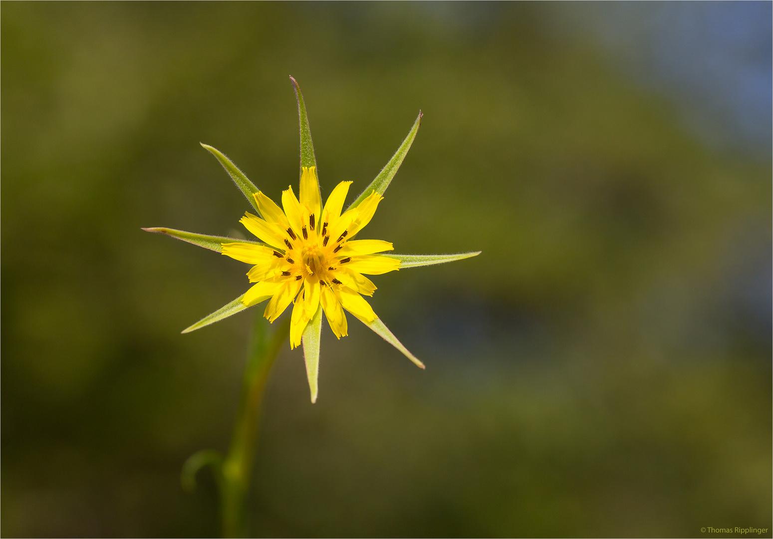 Großer Bocksbart (Tragopogon dubius)..... .... ........