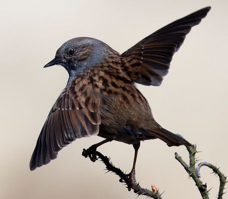 """Großer böser Adler"""