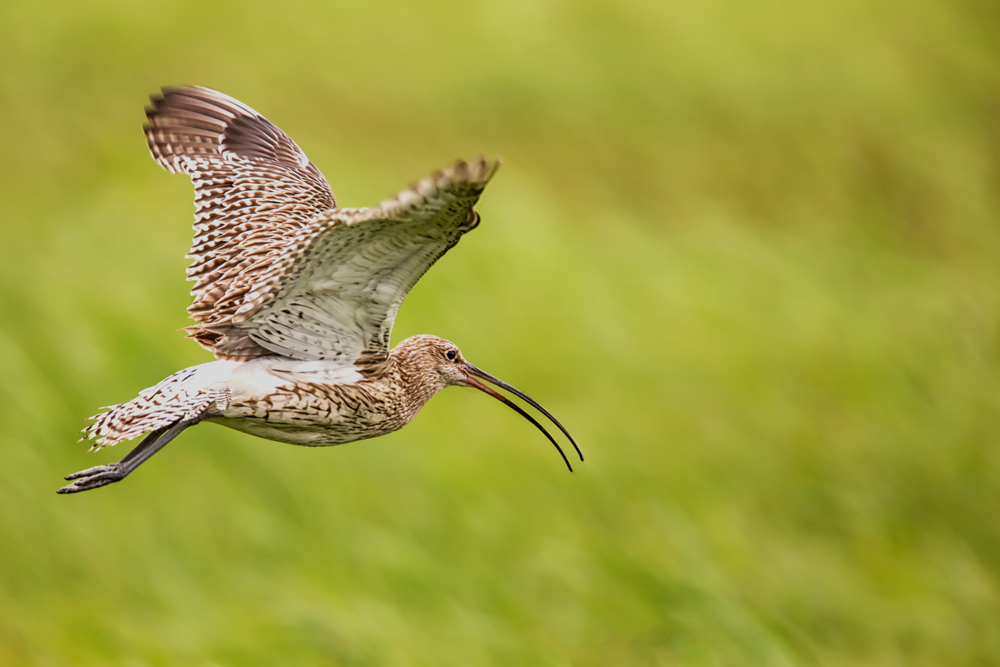 Großer Brachvogel
