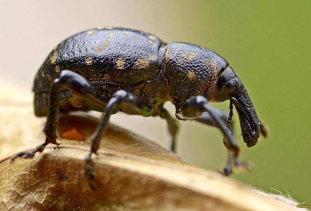Großer Brauner Rüsselkäfer (Hylobius abietis)