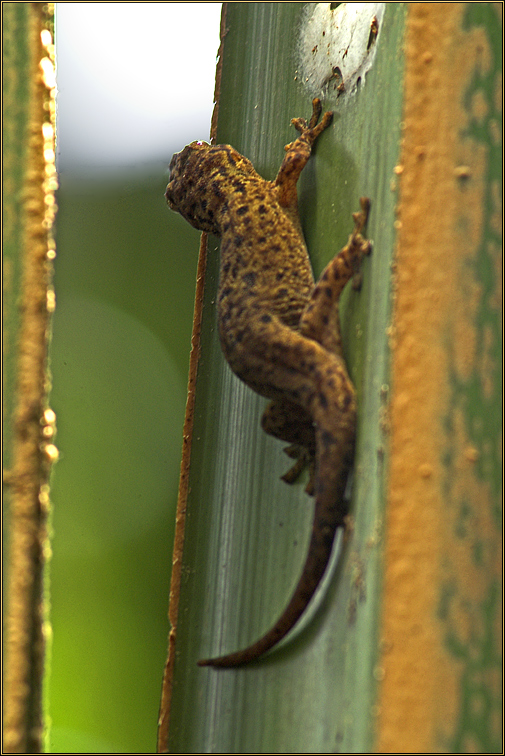 Großer Bronze-Gecko
