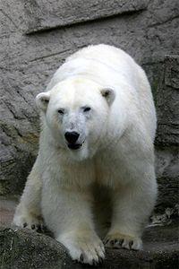 Grosser Eisbaer