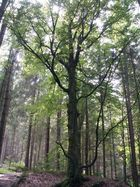 großer Feenbaum