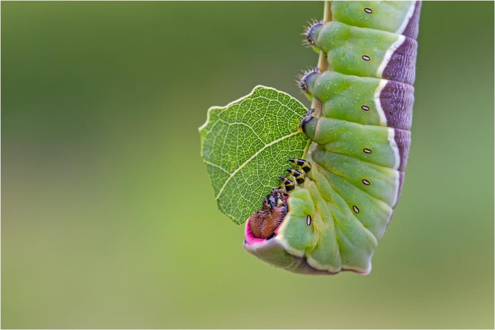 Großer Gabelschwanz (Cerura vinula)