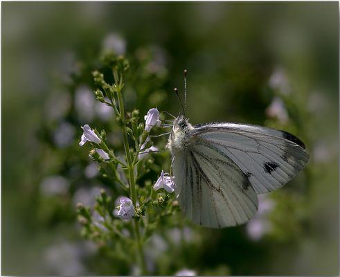 Großer Kohlweißling (Pieris brassicae)