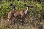 Großer Kudu - weiblich