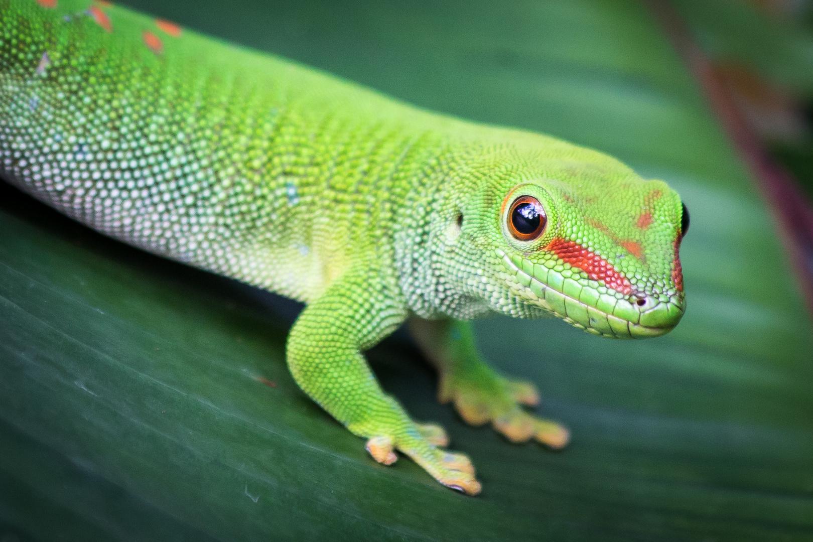 Grosser Madagaskar Taggecko