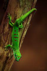 Großer Madagaskar-Taggecko