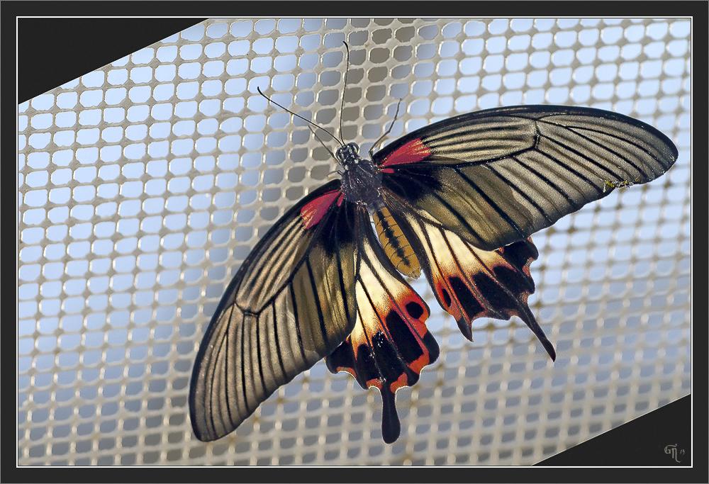 Großer Mormone (Papilio memnon)