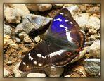 Großer Schillerfalter ( Apatura Iris ) II