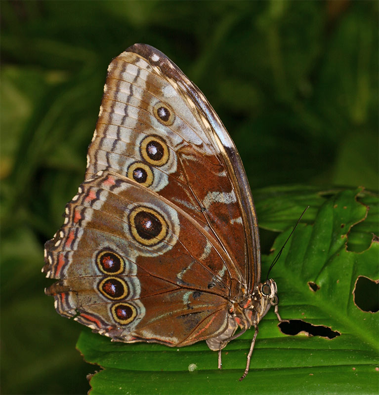 Grosser Schmetterling
