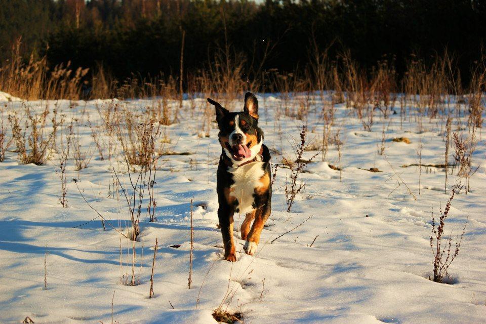 Großer Schweizer Sennenhund Bruno