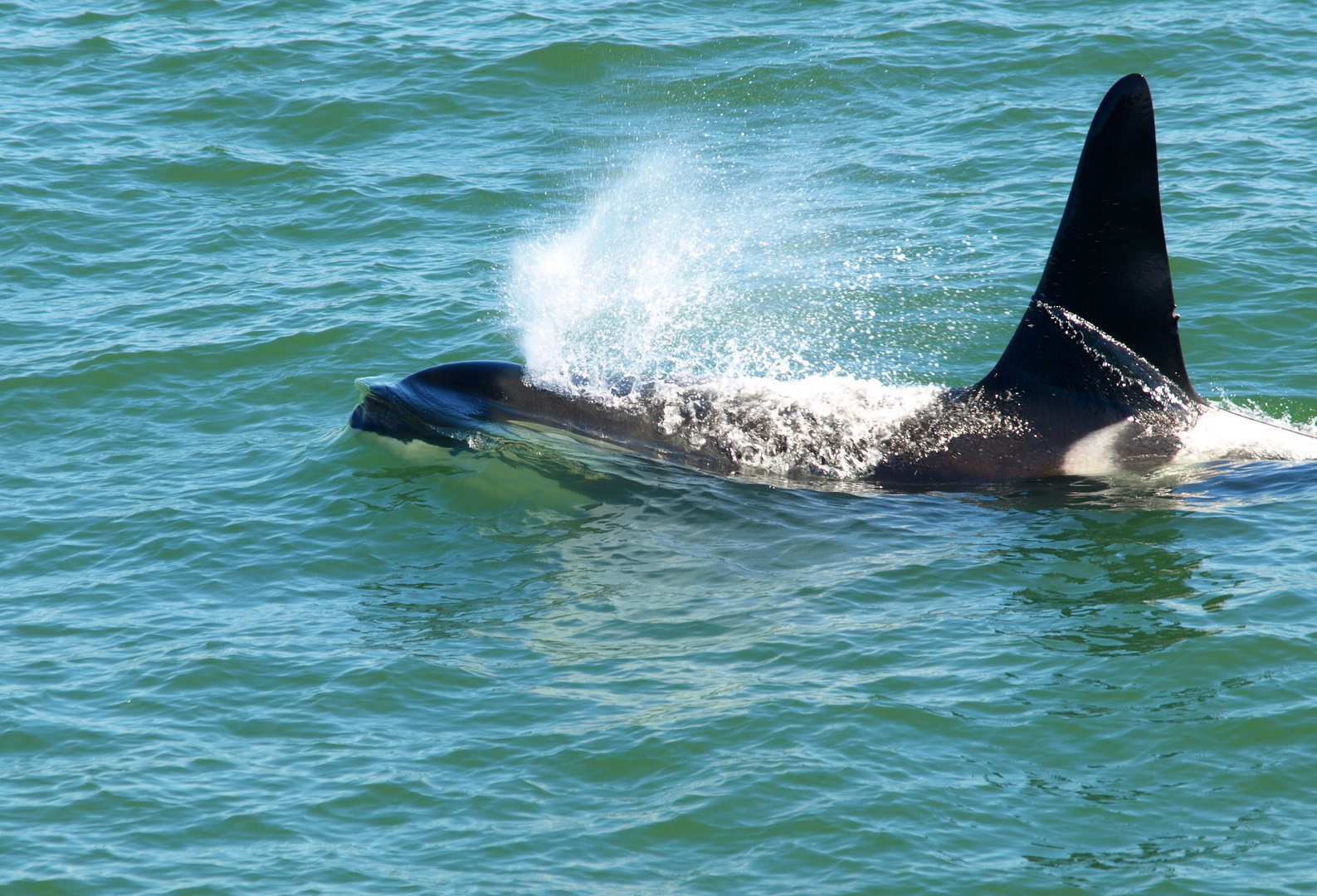 Großer Schwertwal