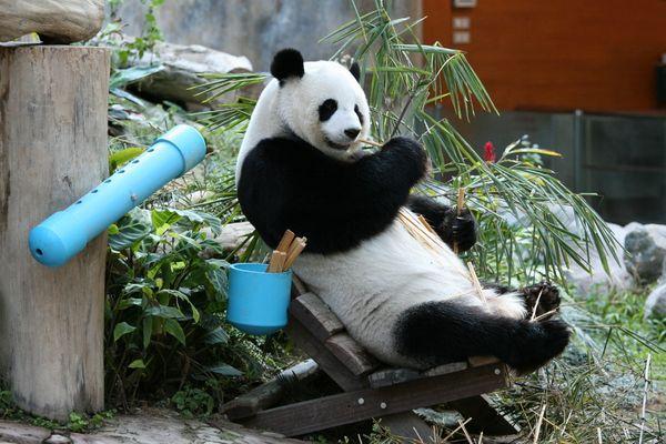 Großer sitzender Panda