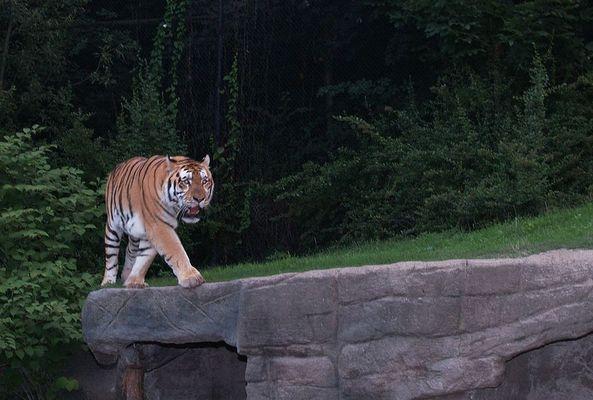 Großer Tiger auf leisen Sohlen