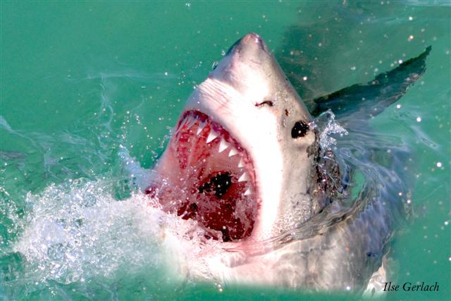 Grosser Weisser Hai, Gansbaai, Suedafrika
