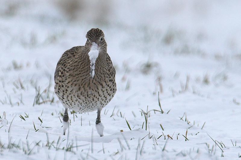Großer (Winter)Brachvogel...#03