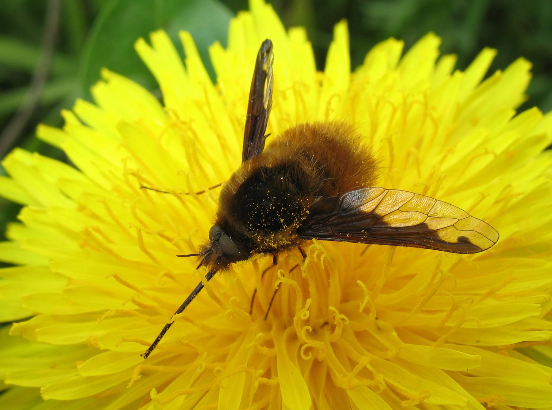 Grosser Wollschweber, Large Bee-fly, gewone wolzwever