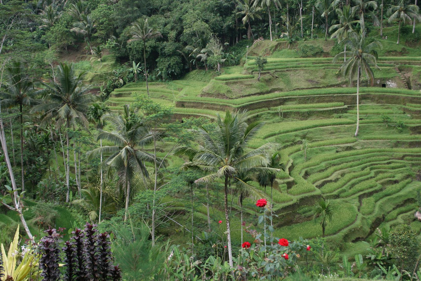 großes Reisfeld